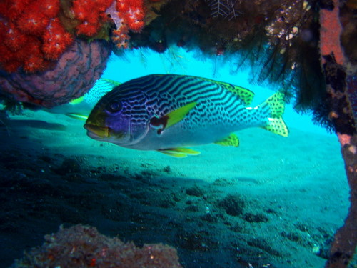 scuba diving in Bali -sweetlips hiding under corals-Amed-Bali