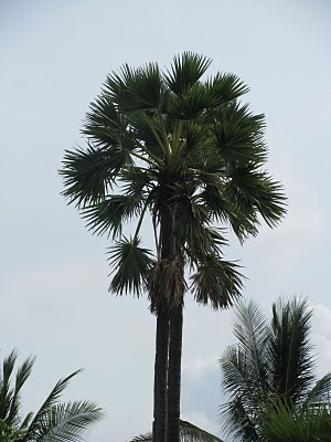 bali arak- toddy palm