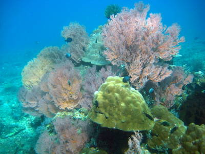 scuba diving in Bali -seafans- corals