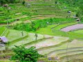 terraced rice fields- Bali