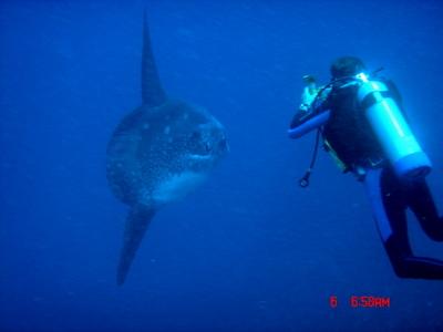 Diver in Bali with mola mola