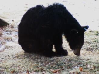 black bear in dad's yard USA