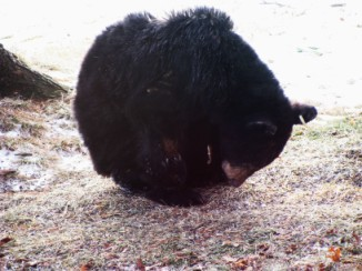 travel story- Bear in the yard- USA