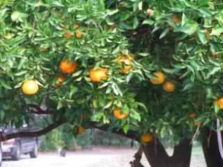 orange tree- St petersburg