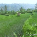 terraced rice fields, Bali