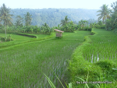 cycling bali - terraced rice fields- central Bali