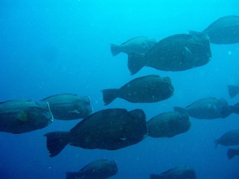 group of bumphead parrotfish, Amed, Bali