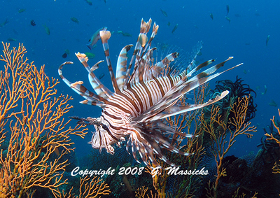 sea life photos- lionfish by Grahame Massicks