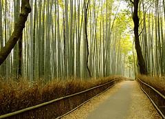 bamboo forest in Arashiyama - western Kyoto