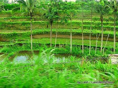 terraced rice fields- central Bali