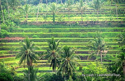 terraced rice fields- central Bali