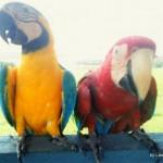 Parrots in Amazon, Brazil