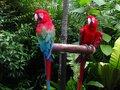 Macaws- KL Bird Park