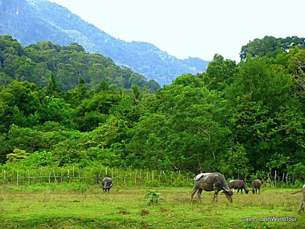 things to do in Langkawi like watch water buffalo grazing