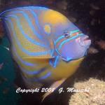 fish and marine life-Blue Ringed Angelfish- by Grahame Massicks