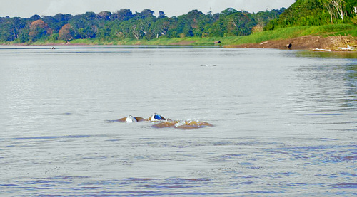 Amazon cruises- Amazon- famous white dolphins
