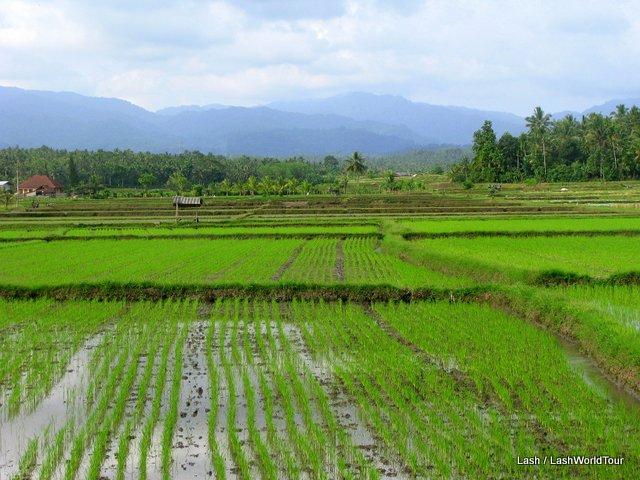 rice fields - Negara- Bali