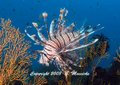 fish and marine creatures - lionfish - Grahame Massicks
