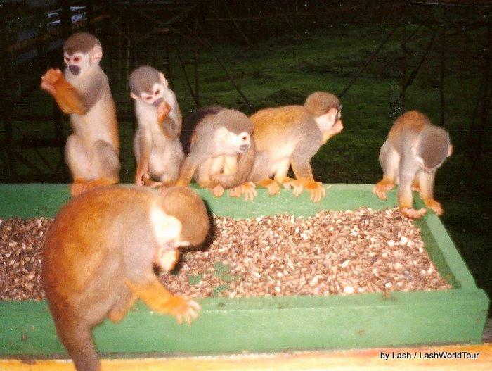 monkeys at Ariau Amazon Towers Hotel