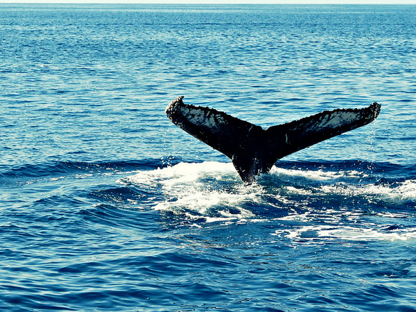Humpback Whale flapping its tail - photo by MindsEye_PJ on Flckr CC
