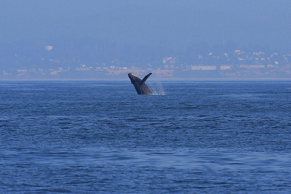 Humpback Whale jumping - photo by Moosealope on Flckr CC