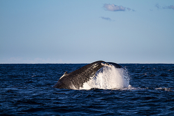 baby Humpback Whale jumping - photo by Brian Jeffery Beggerly on Flickr CC