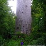 Tane Mahuta - world's largest Kauri tree