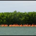 pink flamingos at Rio Lagartos - Mexico