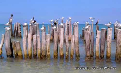 seagulls at  Isla Holbox - Mexico