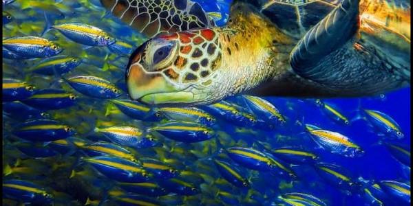 Sea-turtle-fish-at Sipadan