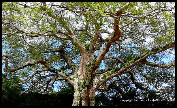 300-year old Ceiba Tree - Ruta de Flores