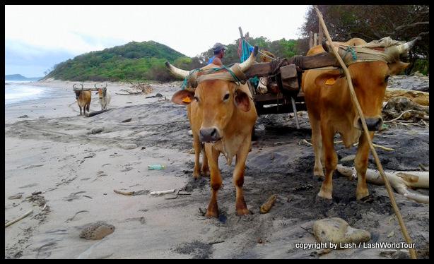 oxen at remote Popoyo Beach